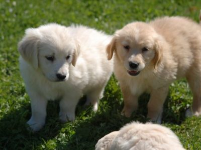 Cuccioli di Golden Retriever