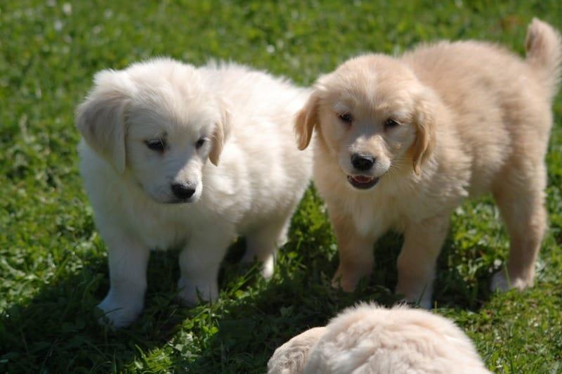 Cuccioli Di Golden Retriever Labancarella