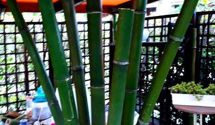 Vendo canne di bambù bambu con diametro da 1 cm. fino a 10 cm.