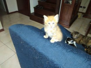 regalo gattina rossa pelo lungo